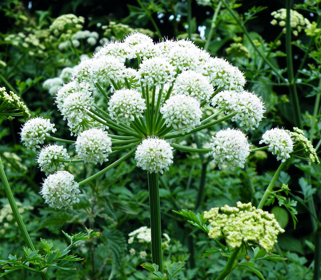 angelica-flower