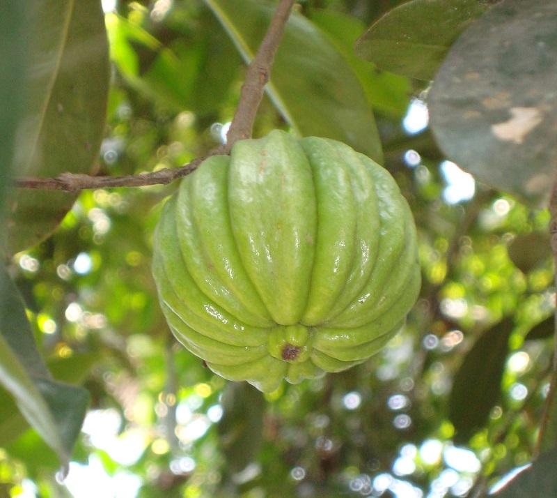 garcinia cambogia 2