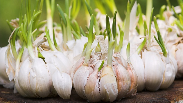 Yummy Solution: Garlic And The Effects On Hypertension