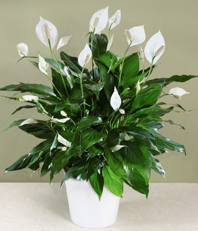 1 peace lily