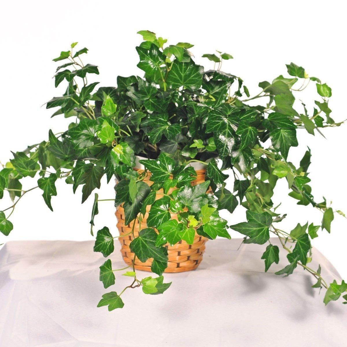 2 english ivy