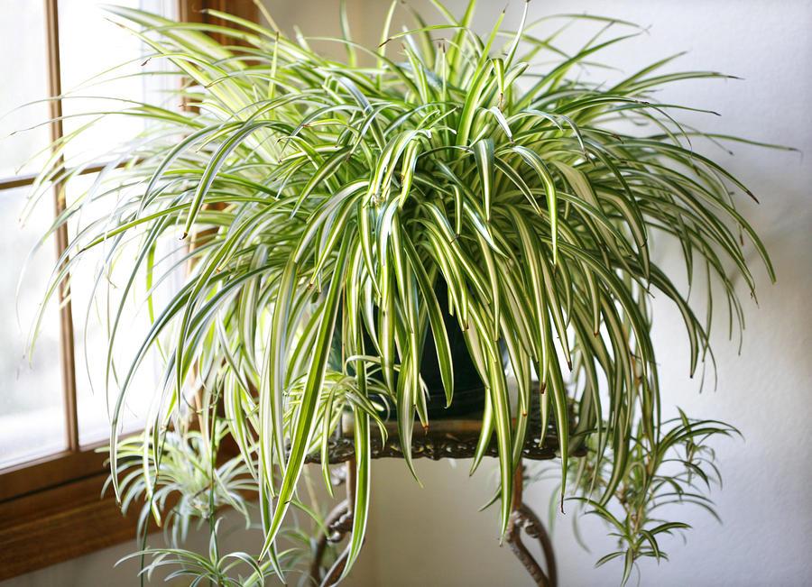 3 spider plant